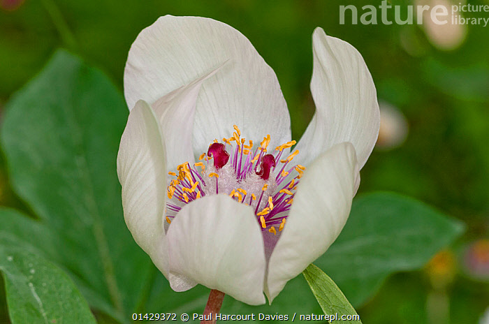 Male peony (Paeonia mascula) in flower, white variety found in North East Sicily, Bosco di Ficuzza, Palermo, Sicily, May  ,  DICOTYLEDONS,EUROPE,FLOWERS,ITALY,PAEONIACEAE,PLANTS,SICILY,STAMESN,STIGMA,WHITE  ,  Paul Harcourt Davies