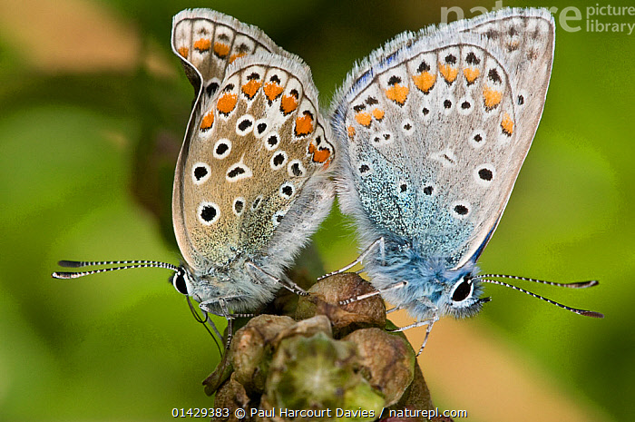 Common Blue butterfly (Polyommatus icarus) mating pair with wings closed, Gargano, Italy, April  ,  ARTHROPODS,BUTTERFLIES,COPULATION,EUROPE,FEMALES,INSECTS,INVERTEBRATES,ITALY,LEPIDOPTERA,MALE FEMALE PAIR,MALES,MATING BEHAVIOUR,REPRODUCTION  ,  Paul Harcourt Davies