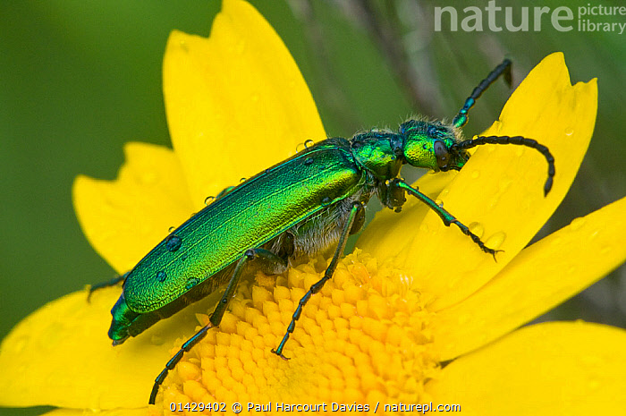 Green flower beetle (Psilothrix viridicoerulea) an irridescent flower beetle often with a bluish tinge on the thorax and head, Orvieto, Umbria, Italy, April  ,  ARTHROPODS,BEETLES,COLEOPTERA,FLOWERS,GREEN,INSECTS,INVERTEBRATES,WEEVILS,YELLOW,Europe  ,  Paul Harcourt Davies