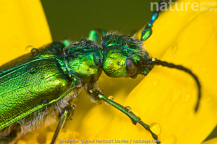 Green flower beetle (Psilothrix viridicoerulea) an irridescent flower beetle often with a bluish tinge on the thorax and head, Orvieto, Umbria, Italy, April  ,  ARTHROPODS,BEETLES,CLOSE UPS,COLEOPTERA,FLOWERS,GREEN,INSECTS,INVERTEBRATES,MACRO,WEEVILS,YELLOW,Europe  ,  Paul Harcourt Davies