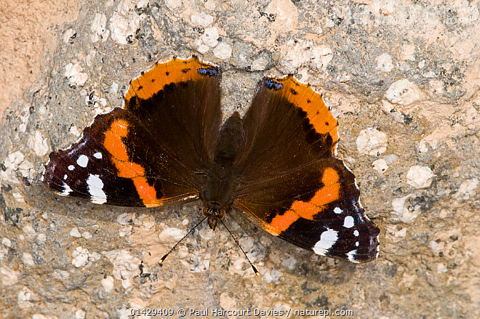 Red Admiral butterfly (Vanessa atalanta) sunning itself, Orvieto, Umbria, Italy  ,  ARTHROPODS,BUTTERFLIES,EUROPE,INSECTS,INVERTEBRATES,ITALY,LEPIDOPTERA  ,  Paul Harcourt Davies