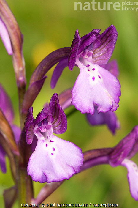 Bory's Orchid (Orchis boryi) in flower, Gious Kambos near Spili, Crete, April  ,  CRETE,EUROPE,FLOWERS,GREECE,MEDITERRANEAN,MONOCOTYLEDONS,ORCHIDACEAE,ORCHIDS,PLANTS,PURPLE,VERTICAL  ,  Paul Harcourt Davies