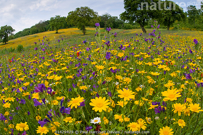 Corn marigolds (Chysanthemum coronarium) and other wild flowers, growing near the military cemetry, Bolsena, Italy, May  ,  ASTERACEAE,COMPOSITAE,DICOTYLEDONS,EUROPE,FLOWERS,ITALY,PLANTS,RED,YELLOW  ,  Paul Harcourt Davies