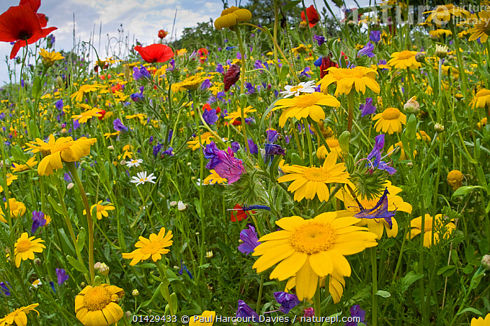 Poppies (Papaver rhoeas) and corn marigolds (Chysanthemum coronarium) growing near the military cemetry, Bolsena, April  ,  ASTERACEAE,COLOURFUL,COMPOSITAE,DICOTYLEDONS,EUROPE,FLOWERS,ITALY,PLANTS,RED,YELLOW  ,  Paul Harcourt Davies
