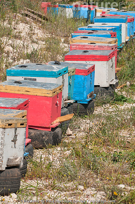 Beehives near Plakias, Crete. these are often moved around the phyrgana according to what plants are in flower, Crete, April 2011  ,  APIDAE,ARTHROPODS,BEES,CRETE,EUROPE,GREECE,HIVE,HIVES,HONEY,HONEY BEES,HONEYBEE,HONEYBEES,HYMENOPTERA,INSECTS,INVERTEBRATES,MEDITERRANEAN,NESTS,VERTICAL  ,  Paul Harcourt Davies