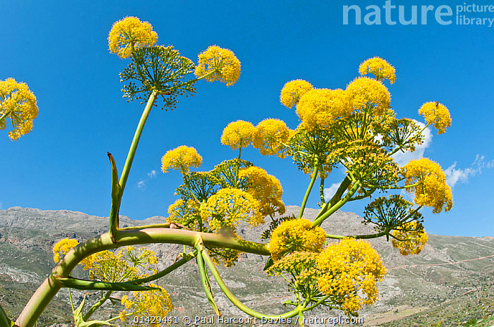 Giant fennel (Ferula communis) in flower, Gious Kambos, Spili, Crete, April  ,  APIACEAE,CRETE,DICOTYLEDONS,EUROPE,FLOWERS,GREECE,HERB,MEDITERRANEAN,PLANTS,UMBELLIFERAE,YELLOW  ,  Paul Harcourt Davies