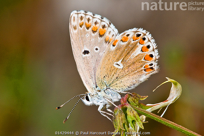 Common Blue butterfly (Polyommatus icarus) female with wings closed, Gargano, Italy, May  ,  ARTHROPODS,BUTTERFLIES,EUROPE,FEMALES,INSECTS,INVERTEBRATES,ITALY,LEPIDOPTERA  ,  Paul Harcourt Davies