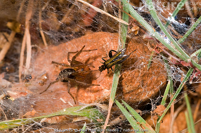 Funnel-web spider (Lycosoides coarctata) with potential prey - a field cricket (Gryllinae) nymph, Gargano, Manfredonia, Puglia, Italy, May  ,  ARACHNIDA,ARACHNIDS,ARTHROPODS,CRICKETS,EUROPE,FLOWERS,FUNNEL WEB SPIDERS,HUNTING,INSECTS,INVERTEBRATES,ITALY,NYMPHS,ORTHOPTERA,PREDATION,SPIDERS,SPIDER WEBS,YOUNG,Behaviour  ,  Paul Harcourt Davies