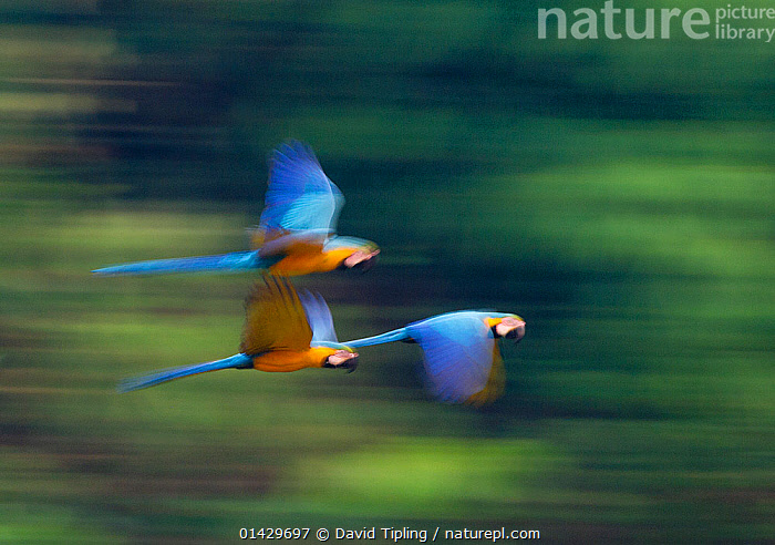 Blue and Yellow Macaws (Ara ararauna) in flight, Tambopata Amazon, Peru, ARTY SHOTS,BIRDS,Blurred,MACAWS,motion,MOVEMENT,PARROTS,Peru,Psittacidae,SOUTH AMERICA,THREE,TROPICAL RAINFOREST,VERTEBRATES,catalogue6,ARA ARARAUNA,Animal,Vertebrate,Birds,Parrot,True parrot,Macaw,Blue and yellow macaw,Animalia,Animal,Wildlife,Vertebrate,Chordate,Aves,Birds,Psittaciformes,Parrot,Psittacines,Psittacidae,True parrot,Psittacoidea,Ara,Macaw,Neotropical parrots,Arini,Arinae,Ara ararauna,Blue and yellow macaw,Blue and gold macaw,Flying,Competition,Direction,Enjoyment,Enjoy,Enjoying,Pleasure,Fun,Amusement,Motion,Active,Movement,On The Move,Speed,Urgency,Colour,Blue,Few,Three,Group,No One,Nobody,Latin America,South America,Peru,Side View,Photographic Effect,Outdoors,Open Air,Outside,Day,Racing,Flight,Three Animals,Moving,Tambopata National Reserve,Amazon,Hurrying, David Tipling