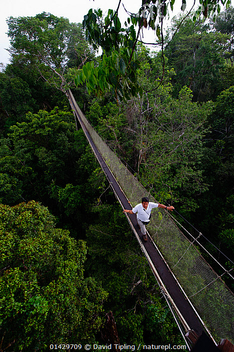 Aerial walkway through Rainforest canopy at Exploramo Lodge, Iquitos Region, Amazon, Peru  ,  catalogue6,PERU,Walking,People,Male,Man,Only Men,One Man,Accessibility,Access,Accessible,Approachable,Adventure,Adventures,Adventurous,Balance,1 Person,Single,Single Person,Latin America,South America,Peru,High Angle View,Plant,Treetop,Treetops,Bridge,Bridges,Rope Bridge,Rope Bridges,Woodland,Rainforest,Forest,Elevated view,Amazon,Aerial walkway,Iquitos  ,  David Tipling