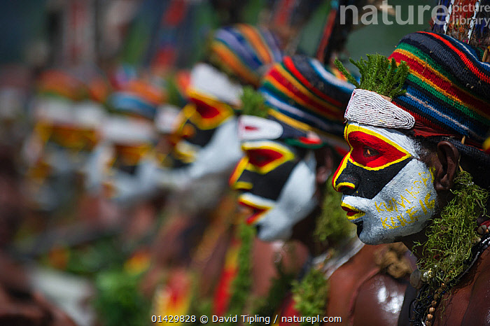 Tribal performers from the Anglimp District in Waghi Province, performing at a Sing-sing - Hagen Show, Western Highlands, Papua New Guinea, August 2011  ,  AUSTRALASIA,ceremonial,Ceremony,COLOURFUL,costumes,CULTURES,EVENTS,face paint,facepaint,GROUPS,HIGHLANDS,indigenous people,LINED UP,LINES,MAN,MEN,OCEANIA,PACIFIC,PAPUA NEW GUINEA,PEOPLE,PNG,singsing,sing sing,TRADITIONAL,TRIBES,catalogue6,NEW GUINEA,People,Entertainment Occupation,Entertainment Occupations,Performer,Performers,Pride,Proud,Traditional,Tradition,Traditions,Arrangement,In A Row,Colour,Colourful,Colorful,Group,Group Of People,Medium Group Of People,Oceania,Melanesia,New Guinea,Papua New Guinea,Diminishing Perspective,Camera Focus,Selective Focus,Focus On Foreground,Focus On Foregrounds,Outdoors,Open Air,Outside,Day,Culture,Indigenous Culture,Shallow depth of field,Low depth of field,Western Highlands,Facepaint,Sing sing,Hagen,Anglimp District,Waghi Province  ,  David Tipling