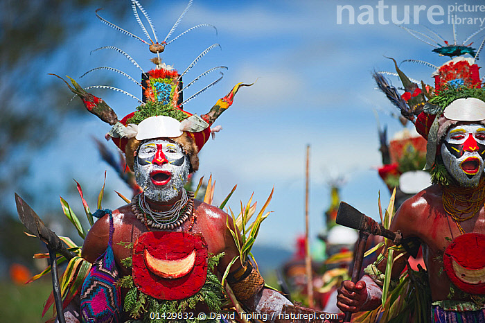 Tribal performers from Hagen at Sing-sing, Mount Hagen Show in Western Highlands Papua New Guinea. Headress contains Papuan Lorikeet birds and King of Saxony plumes. August 2011  ,  AUSTRALASIA,BIRDS,ceremonial,Ceremony,COLOURFUL,costumes,CULTURES,EVENTS,face paint,facepaint,HIGHLANDS,indigenous people,MAN,MEN,OCEANIA,PACIFIC,PAPUA NEW GUINEA,PEOPLE,PNG,singsing,sing sing,TRADITIONAL,TRIBES,catalogue6,NEW GUINEA,Animal,Vertebrate,Birds,Parrot,True parrot,Lory,Papuan lorikeet,Songbird,Bird of paradise,King of saxony bird of paradise,Animalia,Animal,Wildlife,Vertebrate,Chordate,Aves,Birds,Psittaciformes,Parrot,Psittacines,Psittaculidae,True parrot,Psittacoidea,Charmosyna,Lory,Lorikeet,Loriini,Loriinae,Charmosyna papou,Papuan lorikeet,Fairy lorikeet,Stella&#39,s lorikeet,Papuan lory,Passeriformes,Songbird,Passerine,Paradisaeidae,Bird of paradise,Pteridophora,Pteridophora alberti,King of saxony bird of paradise,Enamelled bird of paradise,The enamelled bird,Kisaba,People,Male,Man,Entertainment Occupation,Entertainment Occupations,Performer,Performers,Traditional,Tradition,Traditions,Colour,Colourful,Colorful,Group,Group Of People,Medium Group Of People,Oceania,Melanesia,New Guinea,Papua New Guinea,Front View,View From Front,Feather,Feathers,Equipment,Work Tool,Tool,Tools,Work Tools,Hand Tool,Axe,Axes,Clothing,Headdress,Outdoors,Open Air,Outside,Day,Culture,Indigenous Culture,Highlands New Guinea,Ornamentation,Western Highlands,Sing sing,Hagen,Chanting  ,  David Tipling