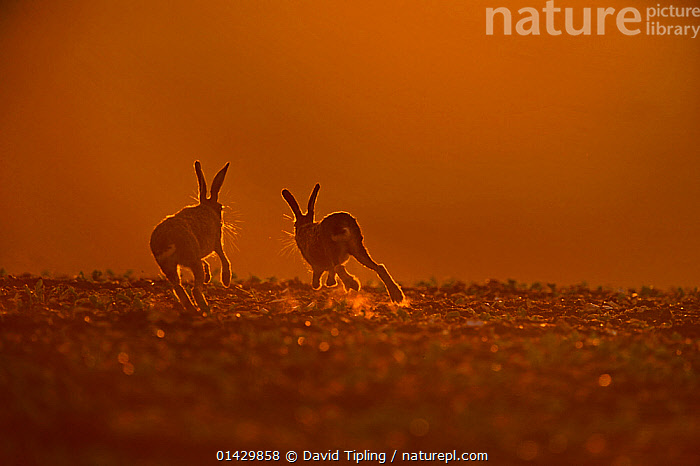 Brown Hare (Lepus europaeus) buck chasing doe, in late evening, Norfolk, May, BEHAVIOUR,BROWN HARE,copyspace,COURTSHIP,DUSK,ENGLAND,EUROPE,HARES,lagomorphs,Leporidae,MAMMALS,MATING BEHAVIOUR,Norfolk,RUNNING,UK,VERTEBRATES,catalogue6,LEPUS EUROPAEUS,Animal,Vertebrate,Mammal,Lagomorph,Leporid,Hare,Brown Hare,Animalia,Animal,Wildlife,Vertebrate,Chordate,Mammalia,Mammal,Lagomorpha,Lagomorph,Leporidae,Leporid,Lepus,Hare,Lepus europaeus,Brown Hare,European Brown Hare,European Hare,Eulagos europaeus,Running,Colour,Brown,Two,No One,Nobody,Rear View,Back,From Behind,Female animal,Doe,Does,Male Animal,Buck,Outdoors,Open Air,Outside,Twilight,Evening,Day,Animal Behaviour,Playing,Behaviour,Play,Playful,Two animals,Avoiding,Avoidance,Communication,United Kingdom, David Tipling
