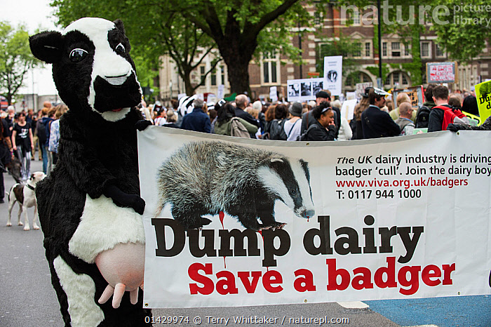 Person dress as a cow holding a sign which says 'Dump dairy - Save a badger' encouraging a dairy boycott, at anti badger cull march, London 1st June 2013. Editorial use only., AGRICULTURAL ISSUES,BADGERS,BOVINE TB,BOVINE TUBERCULOSIS,BOYCOTTS,BTB,CATTLE,CITIES,CONSERVATION,COSTUME,COSTUMES,COW,COWS,CULLS,DAIRY,DEMONSTRATION,DEMONSTRATIONS ,DEMONSTRATORS,ENGLAND,ENVIRONMENTAL,EUROPE,FANCY DRESS,GOVERNMENT,MARCH,MARCHES,PEOPLE,POLITICAL ISSUES,POLITICS,PROTEST,PROTESTORS,PROTESTS,SIGNS,TB,TEXT,UK,WILDLIFE,United Kingdom,, Terry Whittaker