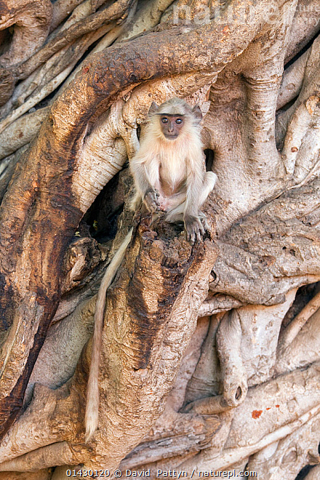 Hanuman / Northern Plains Grey Langur (Semnopithecus entellus) youngster sitting on the trunk of a Banyan tree , Ranthambore National Park, Rajasthan, India, June, BENGAL HANUMAN LANGUR,CAMOUFLAGE,Cercopithecidae,india,INDIAN-SUBCONTINENT,LANGURS,LEAF MONKEY,MAMMALS,MONKEYS,NP,PRESBYTIS ENTELLUS,PRIMATES,RESERVE,VERTEBRATES,VERTICAL,YOUNG high1314,SEMNOPITHECUS ENTELLUS,Animal,Vertebrate,Mammal,Monkey,Grey Langur,Bengal Hanuman Langur,Animalia,Animal,Wildlife,Vertebrate,Mammalia,Mammal,Primate,Primates,Cercopithecidae,Monkey,Old World Monkeys,Semnopithecus,Grey Langur,Semnopithecus entellus,Bengal Hanuman Langur,Northern Plains Gray Langur,Sitting,Glance,Glances,Glancing,Look Away,Looks Away,Waiting,Cute,Adorable,Alone,Solitude,Solitary,Lost,Nobody,Size,Small,Little,Tiny,Asia,Indian Subcontinent,India,Young Animal,Juvenile,Plant,Root,Tree Trunk,Tree,Deciduous,Banyan Tree,Banyan Trees,Outdoors,Open Air,Outside,Day,Nature,Natural,Natural World,Wild,Rajasthan,Ranthambore National Park,Disorientated, David  Pattyn