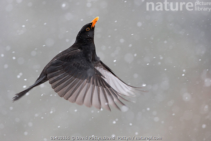 Blackbird (Turdus merula) male in flight during snowfall, Oisterwijk, The Netherlands. January, BIRDS,EUROPE,FLYING,MALES,netherlands,SNOW,songbirds,THRUSHES,Turdidae,VERTEBRATES,WINGS,WINTER,catalogue6,TURDUS MERULA,Animal,Vertebrate,Birds,Songbird,Thrush,True thrush,Blackbird,Animalia,Animal,Wildlife,Vertebrate,Chordate,Aves,Birds,Passeriformes,Songbird,Passerine,Turdidae,Thrush,Turdus,True thrush,Turdus merula,Blackbird,Common blackbird,Eurasian backbird,Black thrush,Flying,Energetic,Dynamic,Dynamism,Optimism,Optimistic,No One,Nobody,Months,January,Europe,Western Europe,The Netherlands,Holland,Netherlands,Copy Space,Close Up,Male Animal,Wing,Wings,Weather,Snowing,Snowfall,Outdoors,Open Air,Outside,Winter,Day,Flight,Wings spread,Wingspan,Negative space,Energy,Oisterwijk, David Pattyn,David  Pattyn
