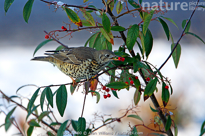 Mistle Thrush (Turdus viscivorus) taking berry from Cotoneaster bush in garden in the snow Cheshire, UK, January  ,  BERRIES,BIRDS,ENGLAND,EUROPE,FEEDING,FRUIT,SONGBIRDS,THRUSHES,TURDIDAE,UK,VERTEBRATES,WINTER,Plants,United Kingdom  ,  Alan Williams