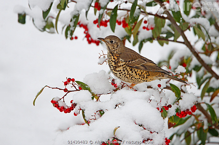 Mistle Thrush (Turdus viscivorus) perched in Cotoneaster bush, in garden, in the snow Cheshire, UK, January  ,  BERRIES,BIRDS,ENGLAND,EUROPE,FRUIT,SNOW,SONGBIRDS,THRUSHES,TURDIDAE,UK,VERTEBRATES,WINTER,Plants,United Kingdom  ,  Alan Williams
