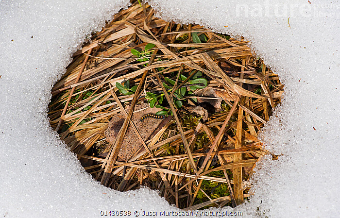 Black Veined White (Aporia crataegi) young caterpillar on patch of ground surrounded by snow.  Finland, April, ARTHROPODS,BUTTERFLIES,COLD,EUROPE,FINLAND,INSECTS,INVERTEBRATES,LEPIDOPTERA,SCANDINAVIA,SNOW, Jussi Murtosaari