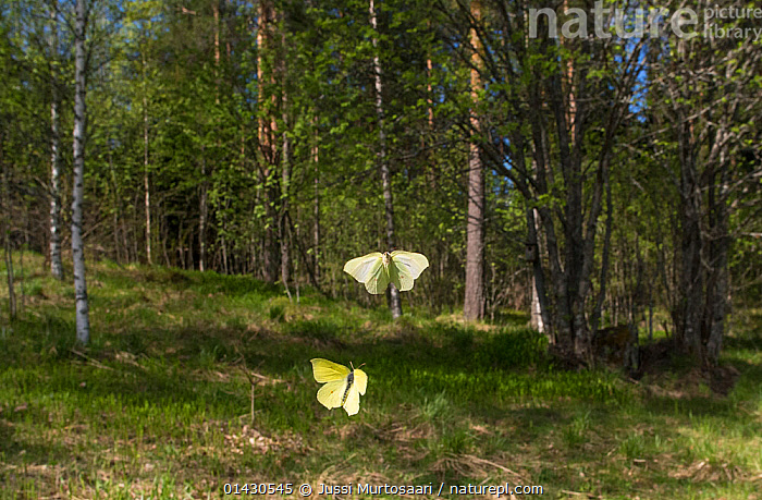 Brimstone (Gonepteryx rhamni) male and female butterflies in flight, Finland, May  ,  ARTHROPODS,BUTTERFLIES,EUROPE,FEMALES,FINLAND,FLYING,INSECTS,INVERTEBRATES,LEPIDOPTERA,MALES,SCANDINAVIA,WOODLANDS  ,  Jussi Murtosaari