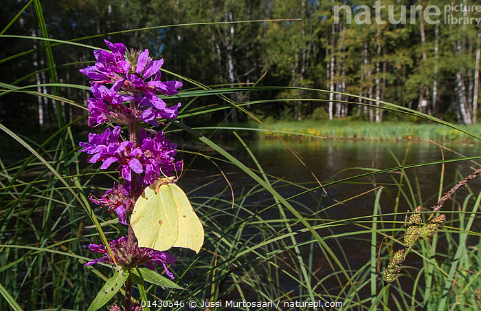 Brimstone (Gonepteryx rhamni) male, feeding near water, Finland, August, ARTHROPODS,BUTTERFLIES,EUROPE,FEEDING,FINLAND,FRESHWATER,HABITAT,INSECTS,INVERTEBRATES,LEPIDOPTERA,MALES,SCANDINAVIA,WOODLANDS, Jussi Murtosaari