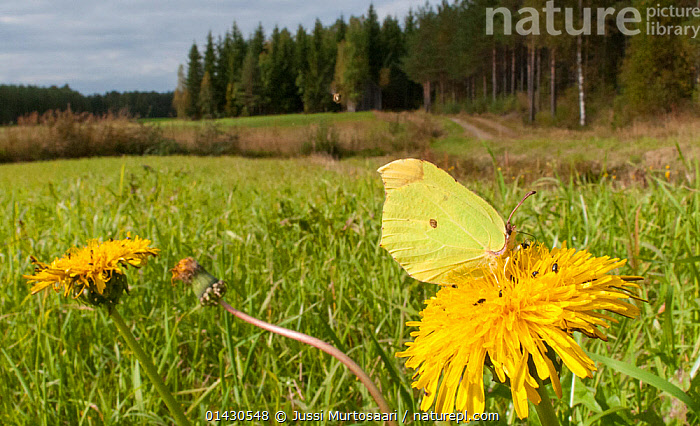 Brimstone (Gonepteryx rhamni) feeding on Dandelion flower, Finland, September, ARTHROPODS,BUTTERFLIES,EUROPE,FEEDING,FINLAND,FLOWERS,FORESTS,HABITAT,INSECTS,INVERTEBRATES,LANDSCAPES,LEPIDOPTERA,SCANDINAVIA,YELLOW, Jussi Murtosaari