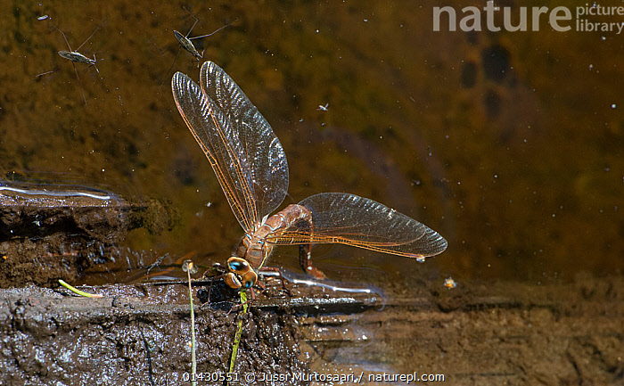 Brown hawker dragonfly (Aeshna grandis) female laying eggs into water, with two River skaters  (Gerris najas) on surface, Finland, August, ARTHROPODS,DRAGONFLIES,EGGLAYING,EUROPE,FEMALES,FINLAND,FRESHWATER,INSECTS,INVERTEBRATES,ODONATA,SCANDINAVIA,WATER, Jussi Murtosaari