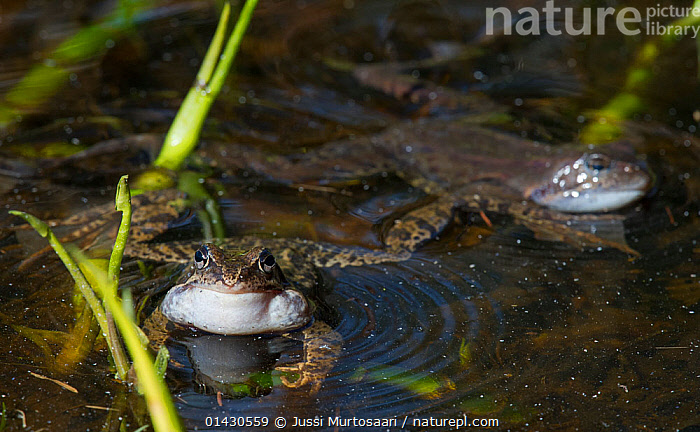 Common frog (Rana temporaria) male calling in the water, Finland, May  ,  AMPHIBIANS,ANURA,CALLING,CROAKING,EUROPE,FINLAND,FROGS,INFLATED,MALES,MATING BEHAVIOUR,RANIDAE,RIPPLES,SCANDINAVIA,VERTEBRATES,VOCAL SACS,VOCALISATION  ,  Jussi Murtosaari