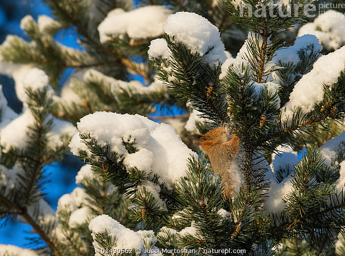 Eurasian red squirrel (Sciurus vulgaris) with grey winter coat, on snowy pine tree, Finland, February, EUROPE,FINLAND,MAMMALS,RODENTS,SCANDINAVIA,SCIURIDAE,SNOW,SQUIRRELS,TREES,VERTEBRATES,WINTER,PLANTS, Jussi Murtosaari