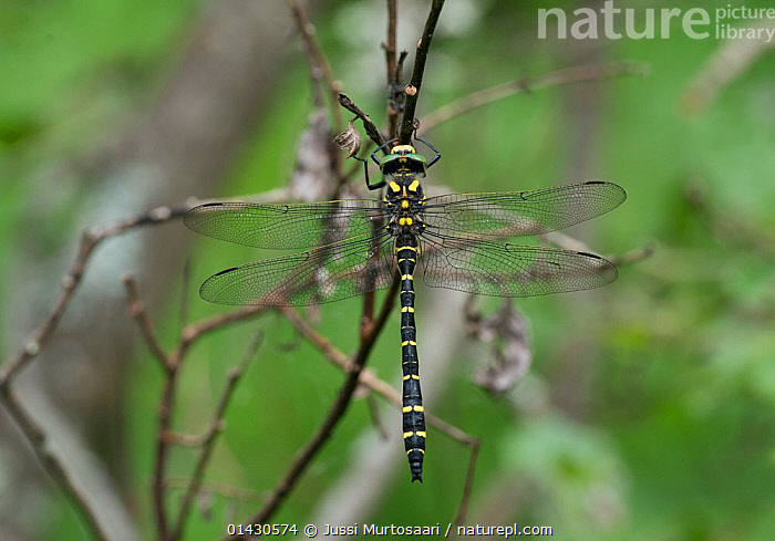 Golden-ringed Dragonfly (Cordulegaster boltonii) male, Finland, July  ,  ARTHROPODS,DRAGONFLIES,EUROPE,FINLAND,INSECTS,INVERTEBRATES,MALES,ODONATA,SCANDINAVIA  ,  Jussi Murtosaari