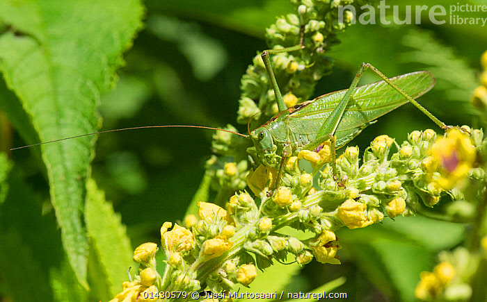 Great Green Bush-Cricket (Tettigonia viridissima)  Finland, July, BUSH CRICKETS,CAMOUFLAGE,EUROPE,FINLAND,FLOWERS,GRASSHOPPERS,GREEN,INSECTS,INVERTEBRATES,KATYDIDS,LONG HORNED GRASSHOPPERS,ORTHOPTERA,SCANDINAVIA, Jussi Murtosaari