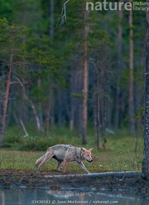 Grey wolf (Canis lupus) in forest at night, Finland, July, CANIDAE,CANIDS,CARNIVORES,CONIFEROUS,EUROPE,FINLAND,FORESTS,MAMMALS,NIGHT,REFLECTIONS,SCANDINAVIA,TREES,VERTEBRATES,VERTICAL,WALKING,WATER,WOLVES,PLANTS,Dogs, Jussi Murtosaari