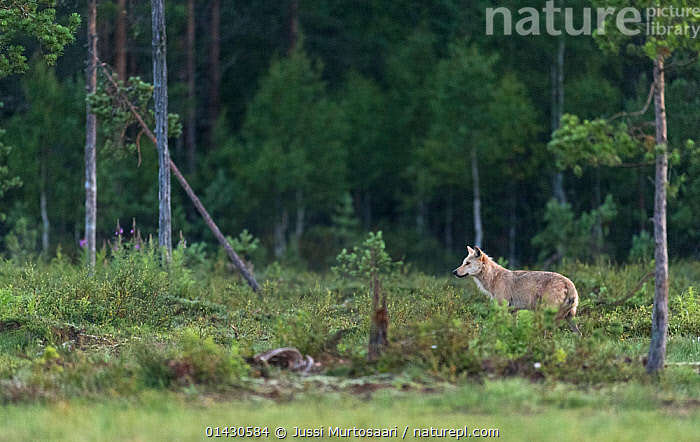 Grey wolf (Canis lupus) in forest at night, Finland, July, CANIDAE,CANIDS,CARNIVORES,CONIFEROUS,EUROPE,FINLAND,FORESTS,HABITAT,MAMMALS,PROFILE,SCANDINAVIA,TREES,VERTEBRATES,WOLVES,PLANTS,Dogs, Jussi Murtosaari