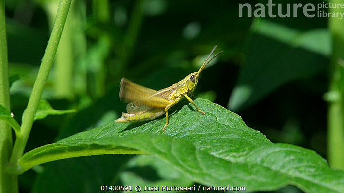 Large gold grasshopper (Chrysochraon dispar)  Finland, July, CALLING,COMMUNICATION,EUROPE,FINLAND,GRASSHOPPERS,INSECTS,INVERTEBRATES,LEAVES,LEGS,MALES,MOVEMENT,ORTHOPTERA,SCANDINAVIA,SCRAPING,SHORT HORNED GRASSHOPPERS,VOCALISATION, Jussi Murtosaari