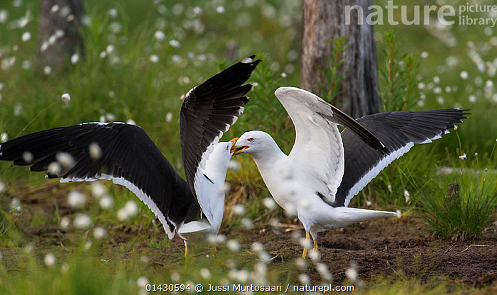 Lesser Black-backed Gull (Larus fuscus) adults fighting, Finland, June, ACTION,AGGRESSION,BEHAVIOUR,BIRDS,COTTON GRASS,COTTONGRASS,EUROPE,FIGHTING,FINLAND,GULLS,LARIDAE,SCANDINAVIA,SEABIRDS,VERTEBRATES, Jussi Murtosaari