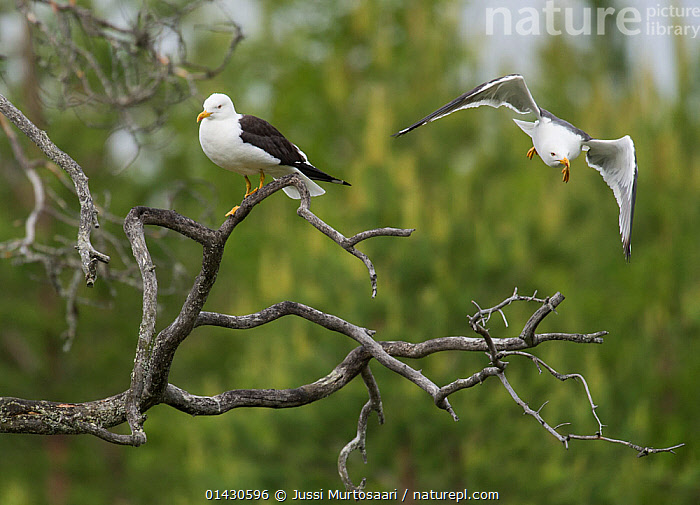 Lesser Black-backed Gull (Larus fuscus) adults, Finland, June  ,  BIRDS,EUROPE,FINLAND,FLYING,GULLS,LARIDAE,SCANDINAVIA,SEABIRDS,VERTEBRATES  ,  Jussi Murtosaari