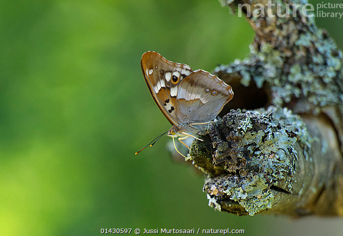 Lesser Purple Emperor (Apatura ilia) male drinking moisture from lichen covered branch, Finland, July, ARTHROPODS,BUTTERFLIES,COPYSPACE,DRINKING,EUROPE,FINLAND,INSECTS,INVERTEBRATES,LEPIDOPTERA,MALES,SCANDINAVIA, Jussi Murtosaari