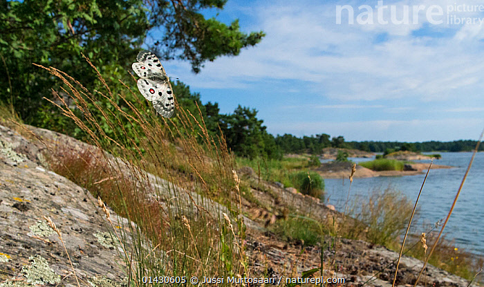 Mountain Apollo (Parnassius apollo) female in flight, searching for site to lay eggs, Finland, July, ARTHROPODS,BEHAVIOUR,BUTTERFLIES,EUROPE,FINLAND,FLYING,HABITAT,INSECTS,INVERTEBRATES,LANDSCAPES,LEPIDOPTERA,SCANDINAVIA, Jussi Murtosaari