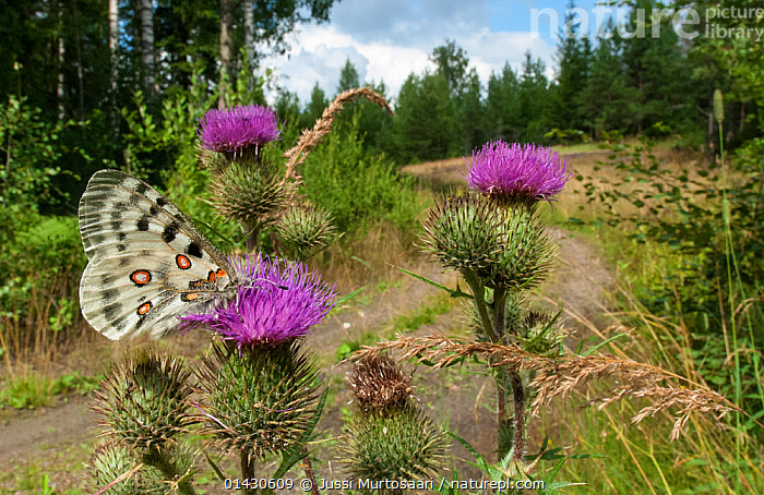 Mountain Apollo (Parnassius apollo) male feeding on thistles, Finland, July  ,  ARTHROPODS,BUTTERFLIES,EUROPE,FEEDING,FINLAND,FORESTS,HABITAT,INSECTS,INVERTEBRATES,LANDSCAPES,LEPIDOPTERA,MALES,POLLINATION,PURPLE,ROADS,SCANDINAVIA,THISTLES,TREES,PLANTS,,Dispersal,  ,  Jussi Murtosaari