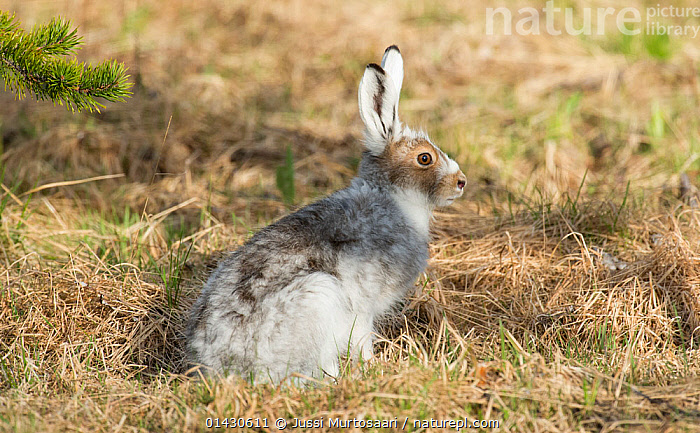 Mountain hare (Lepus timidus) with coat in mid moult, Finland, June, BROWN,EUROPE,FINLAND,HARES,LAGOMORPHS,LEPORIDAE,MAMMALS,MOULTING,PROFILE,SCANDINAVIA,VERTEBRATES, Jussi Murtosaari