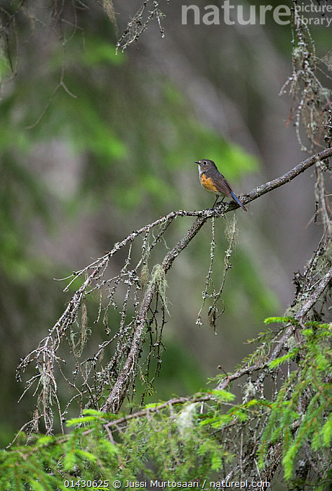 Orange-flanked Bush Robin (Tarsiger cyanurus) young male, Finland, June, BIRDS,ERITHACUS,EUROPE,FINLAND,MALES,MUSCICAPIDAE,SCANDINAVIA,SONGBIRDS,TARSIGER CYANURUS,VERTEBRATES,VERTICAL,YOUNG, Jussi Murtosaari