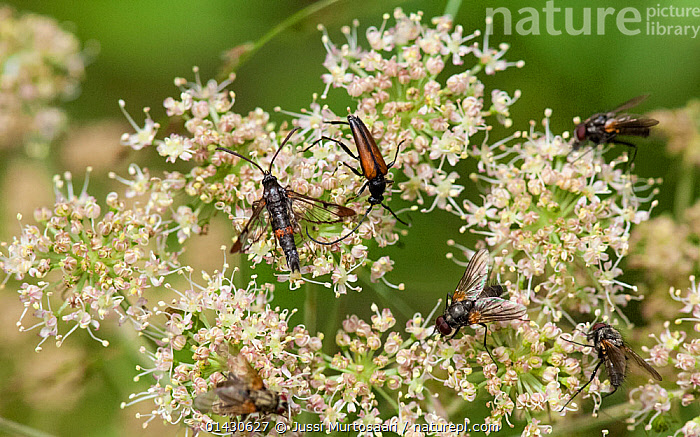 Red-tipped Clearwing Moth (Synanthedon formicaeformis)  adult among a beetle and flies on  Umbellifera (Umberlliferae / Apiacea) flower, Finland, July, APIACEAE,ARTHROPODS,BEETLES,COLEOPTERA,DIPTERA,EUROPE,FINLAND,FLIES,FLOWERS,GROUPS,INSECTS,INVERTEBRATES,LEPIDOPTERA,MOTHS,SCANDINAVIA,SESIIDAE,UMBELLIFERAE,WHITE, Jussi Murtosaari