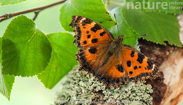 Scarce Tortoiseshell (Nymphalis xanthomelas) resting on lichen, Finland, July  ,  BUTTERFLIES,EUROPE,FINLAND,INSECTS,INVERTEBRATES,LEPIDOPTERA,LICHEN,SCANDINAVIA,WINGS  ,  Jussi Murtosaari