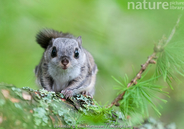 Siberian flying squirrel (Pteromys volans) portrait, Finland, May, EUROPE,FINLAND,FLYING SQUIRRELS,LOOKING AT CAMERA,MAMMALS,PORTRAITS,RODENTS,SCANDINAVIA,SCIURIDAE,VERTEBRATES, Jussi Murtosaari