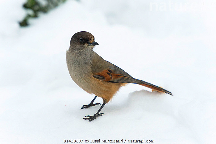 Siberian Jay (Perisoreus infaustus) standing in snow, Finland, January, BIRDS,COLD,CORVIDAE,EUROPE,FINLAND,JAYS,SCANDINAVIA,SNOW,SONGBIRDS,VERTEBRATES,WINTER, Jussi Murtosaari