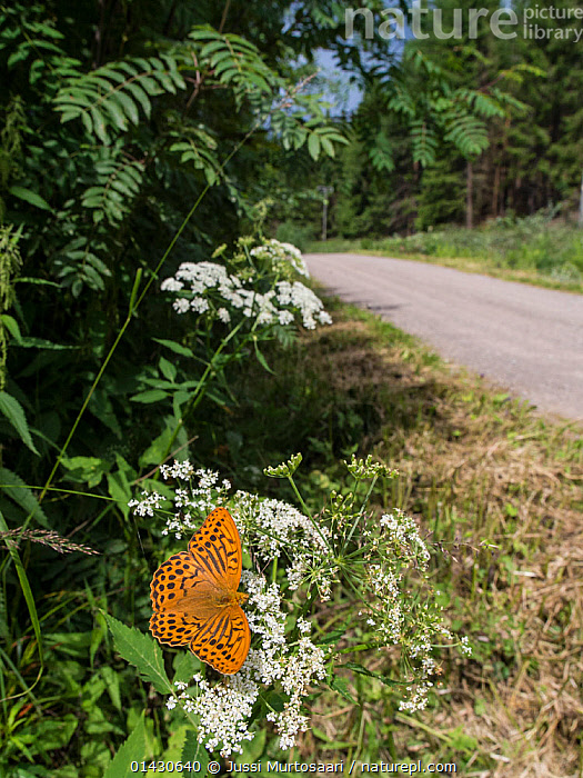 Silver Washed Fritillary (Argynnis paphia) male resting on Umbellifer flower on road verge, Finland, July, APIACEAE,ARTHROPODS,BUTTERFLIES,EUROPE,FINLAND,FLOWERS,HABITAT,INSECTS,INVERTEBRATES,LEPIDOPTERA,MALES,PATHS,ROADS,SCANDINAVIA,UMBELLIFERAE,WHITE, Jussi Murtosaari