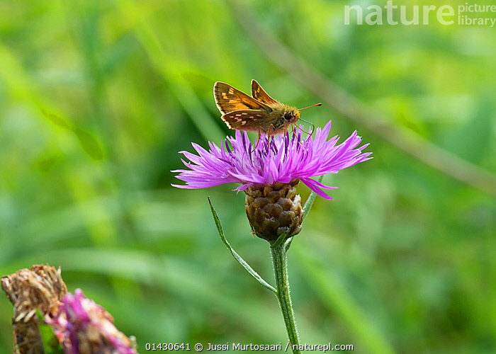 Silver-spotted Skipper (Hesperia comma) male butterfly feeding on thistle flower, Finland, July, EUROPE,FEEDING,FINLAND,FLOWERS,INSECTS,INVERTEBRATES,LEPIDOPTERA,MALES,PINK,POLLINATION,PURPLE,SCANDINAVIA,SKIPPER BUTTERFLIES,SKIPPERS,Butterflies, Jussi Murtosaari