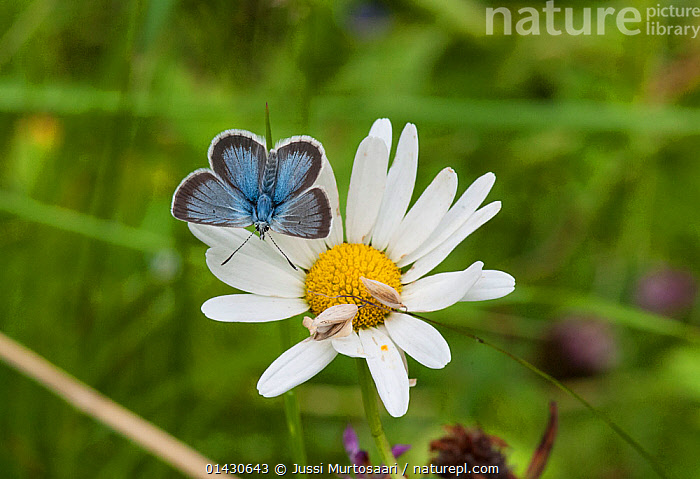 Silvery Argus (Aricia nicias) male on Ox-eye daisy (Leucanthemum vulgare), Finland, July, ARTHROPODS,BUTTERFLIES,EUROPE,FINLAND,FLOWERS,INSECTS,INVERTEBRATES,LEPIDOPTERA,MALES,SCANDINAVIA,WHITE, Jussi Murtosaari