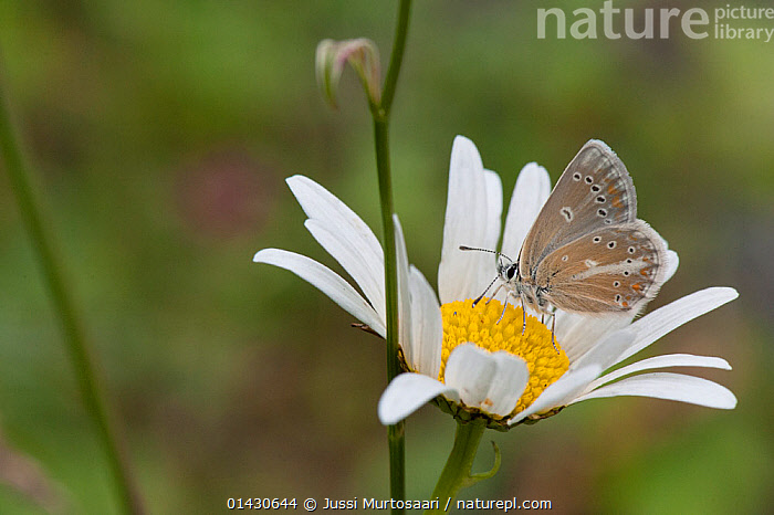 Silvery Argus (Aricia nicias) male on Ox-eye daisy (Leucanthemum vulgare), Finland, July, ARTHROPODS,BUTTERFLIES,EUROPE,FEEDING,FINLAND,FLOWERS,INSECTS,INVERTEBRATES,LEPIDOPTERA,SCANDINAVIA,WHITE, Jussi Murtosaari