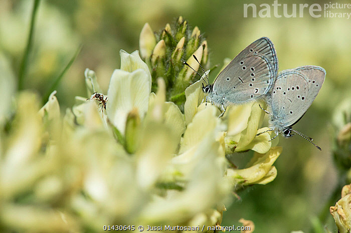 Small Blue Butterfly (Cupido minimus) mating, and an ant, Finland, May  ,  ANTS,ARTHROPODS,BUTTERFLIES,COPULATION,EUROPE,FINLAND,INSECTS,INVERTEBRATES,LEPIDOPTERA,LITTLE BLUE,MATING BEHAVIOUR,MIXED SPECIES,SCANDINAVIA,Reproduction  ,  Jussi Murtosaari